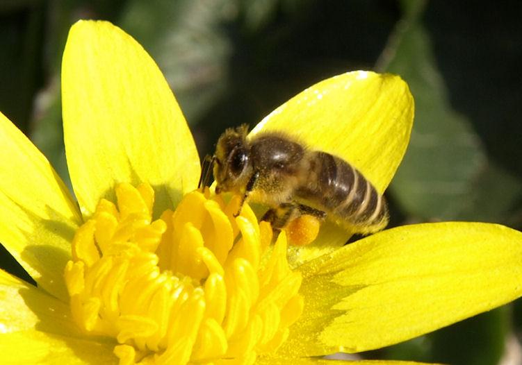 ミツバチの画像 p1_30