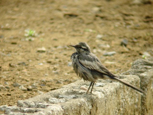ハクセキレイ 幼鳥?_f0051915_1840254.jpg