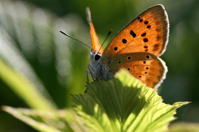 スイスの花と蝶2007(6) 最終日はやっぱりアポロ①_d0054625_210051.jpg