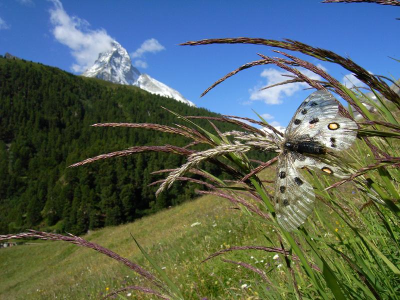 スイスの花と蝶2007(6) 最終日はやっぱりアポロ①_d0054625_21251793.jpg