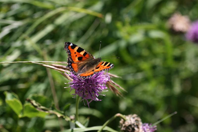 スイスの花と蝶2007(6) 最終日はやっぱりアポロ①_d0054625_2231264.jpg