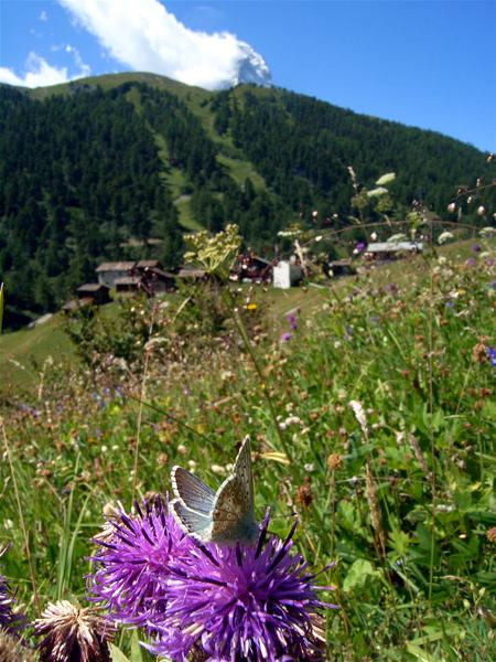 スイスの花と蝶2007(6) 最終日はやっぱりアポロ①_d0054625_22395144.jpg