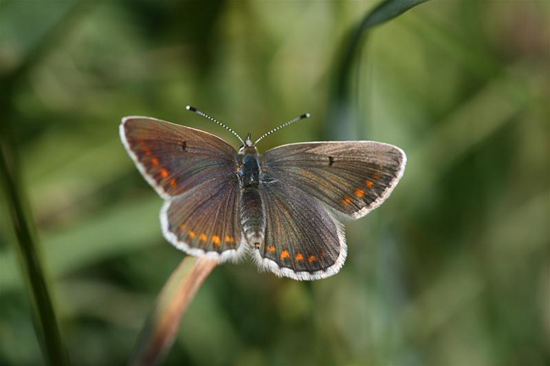 スイスの花と蝶2007(6) 最終日はやっぱりアポロ①_d0054625_22464340.jpg