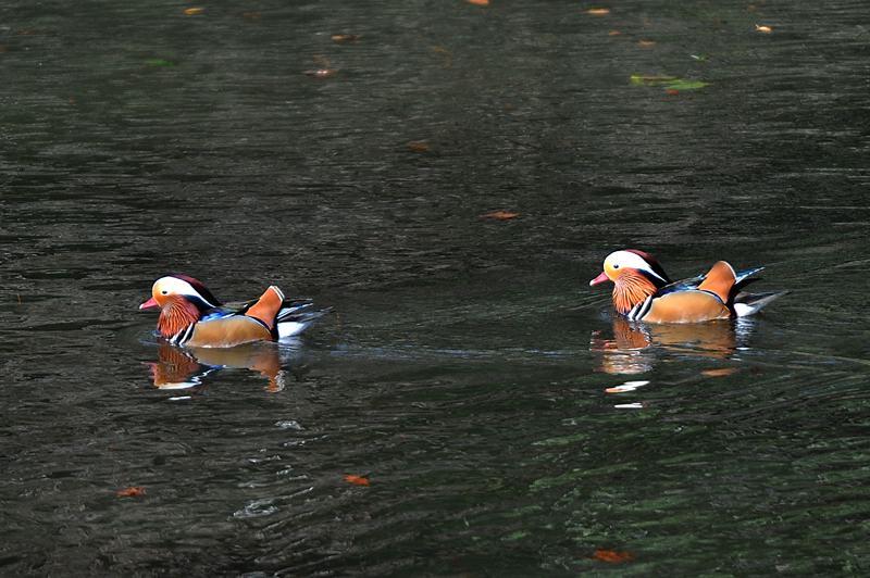 番外 オシドリ/羽の色模様と水模様_b0024798_6223535.jpg