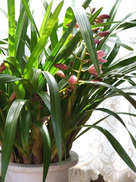蘭咲き始める。_b0089338_0473928.jpg