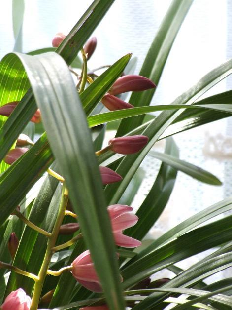 蘭咲き始める。_b0089338_0475429.jpg
