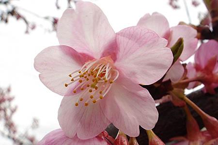 河津桜と、「てくまる」の家出_f0030085_12102558.jpg