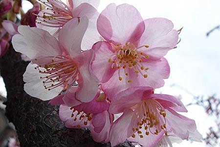 河津桜と、「てくまる」の家出_f0030085_1210661.jpg
