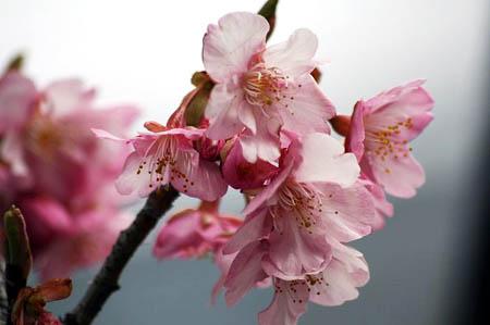 河津桜と、「てくまる」の家出_f0030085_1291992.jpg