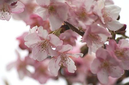 河津桜と、「てくまる」の家出_f0030085_1293338.jpg