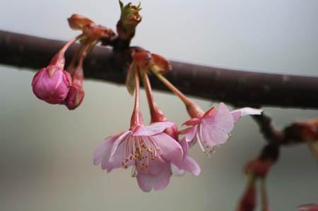 河津桜と、「てくまる」の家出_f0030085_129359.jpg
