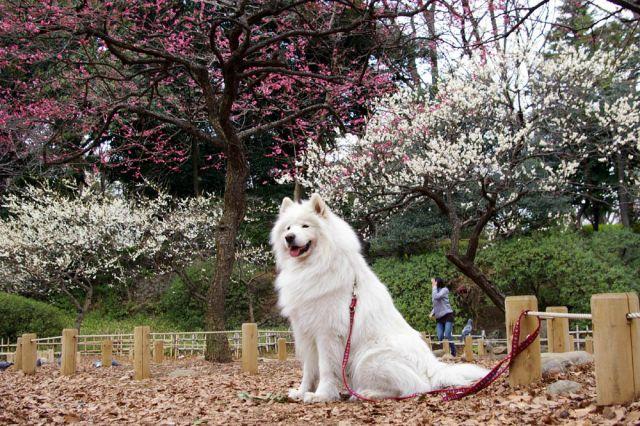 梅は咲いたか、桜は…_c0062832_1659454.jpg