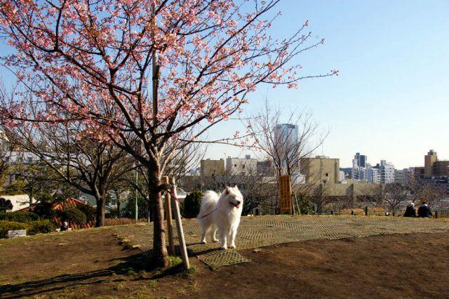 梅は咲いたか、桜は…_c0062832_1701384.jpg