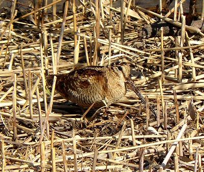 湿地帯に現れた「ヤマシギ」_d0019074_19352557.jpg