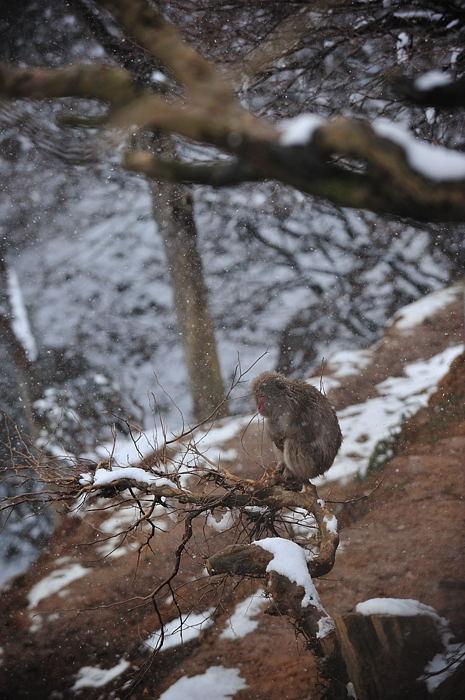 雪猿@岩田山モンキーパーク_f0032011_20122627.jpg