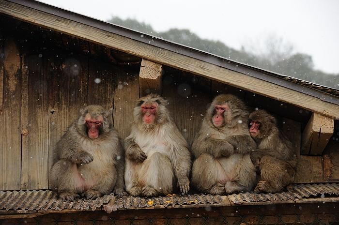 雪猿@岩田山モンキーパーク_f0032011_20125883.jpg