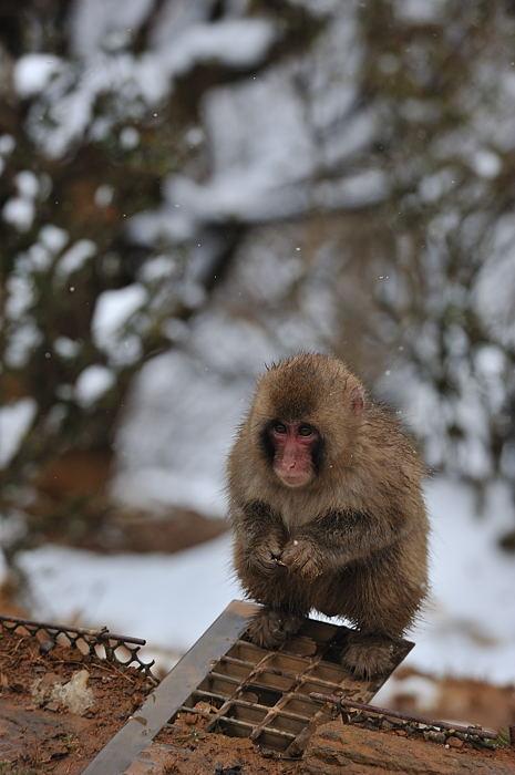 雪猿@岩田山モンキーパーク_f0032011_20132495.jpg
