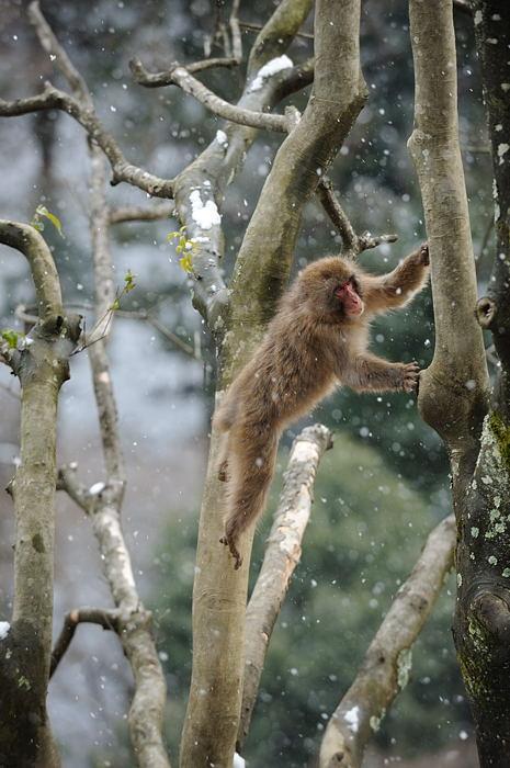 雪猿@岩田山モンキーパーク_f0032011_20253369.jpg