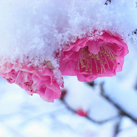 雪中梅 2_c0067040_204684.jpg