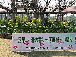 河津桜祭り_c0141652_179153.jpg