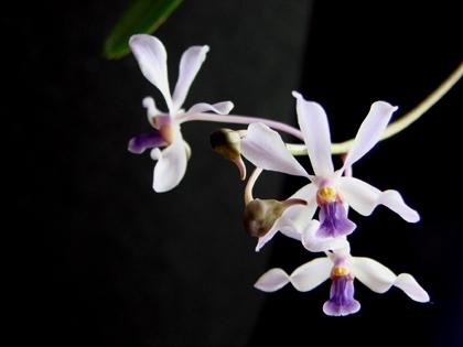 V.coerulescens(セルレッセンス)_d0007501_920127.jpg