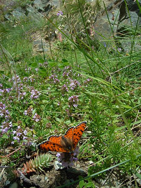 スイスの花と蝶2007(6) 最終日はやっぱりアポロ② 最終回_d0054625_20523453.jpg