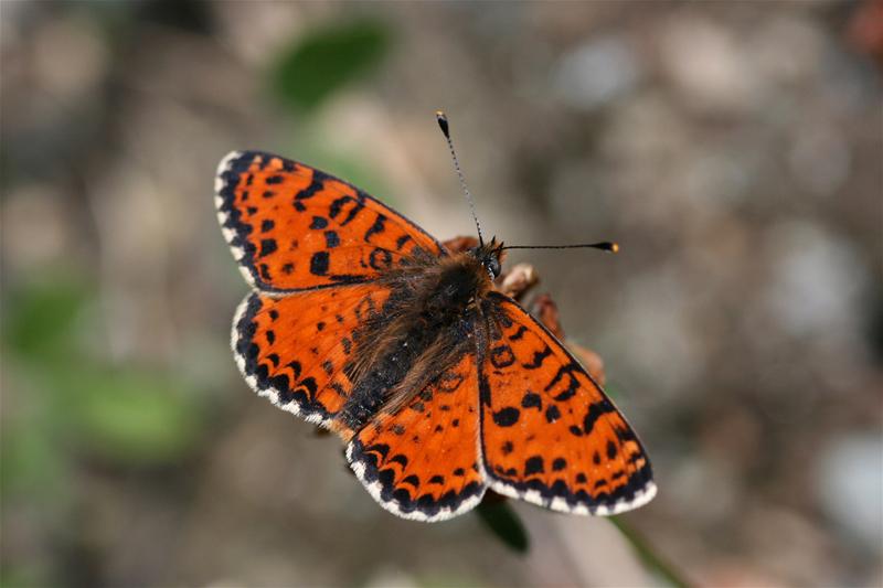 スイスの花と蝶2007(6) 最終日はやっぱりアポロ② 最終回_d0054625_2052357.jpg