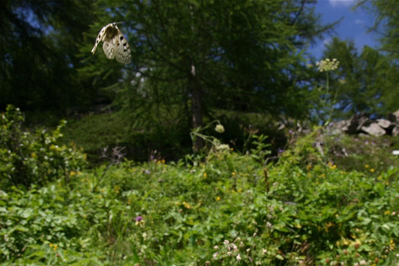 スイスの花と蝶2007(6) 最終日はやっぱりアポロ② 最終回_d0054625_2152182.jpg