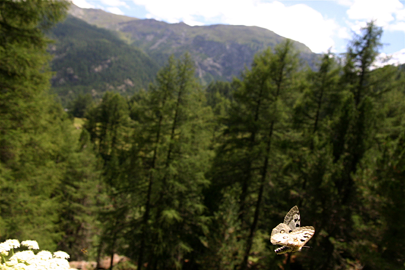 スイスの花と蝶2007(6) 最終日はやっぱりアポロ② 最終回_d0054625_2153443.jpg