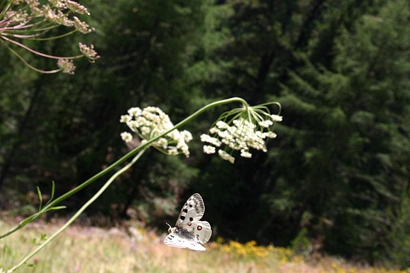 スイスの花と蝶2007(6) 最終日はやっぱりアポロ② 最終回_d0054625_215740.jpg