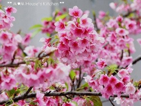 満開のヒカン桜とメジロちゃん♪_c0139375_14363259.jpg