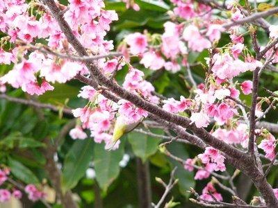 満開のヒカン桜とメジロちゃん♪_c0139375_14372780.jpg