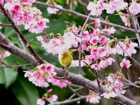 満開のヒカン桜とメジロちゃん♪_c0139375_14375682.jpg