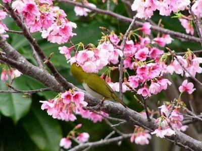 満開のヒカン桜とメジロちゃん♪_c0139375_14382566.jpg