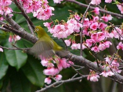 満開のヒカン桜とメジロちゃん♪_c0139375_143844100.jpg