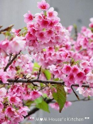 満開のヒカン桜とメジロちゃん♪_c0139375_14394382.jpg