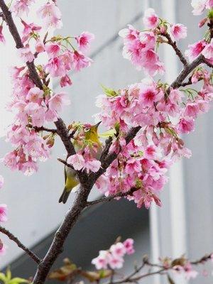 満開のヒカン桜とメジロちゃん♪_c0139375_1439997.jpg