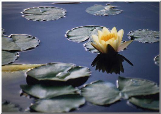 睡蓮の姿(県立大船植物園)_d0123528_172554.jpg
