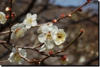 3月3日の白梅