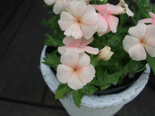 オークリーフ(春、ミモザの季節)_f0049672_14301025.jpg