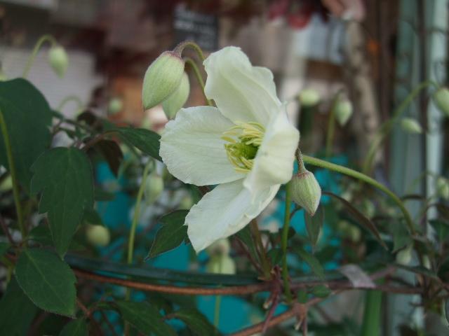 オークリーフ(春、ミモザの季節)_f0049672_14313754.jpg