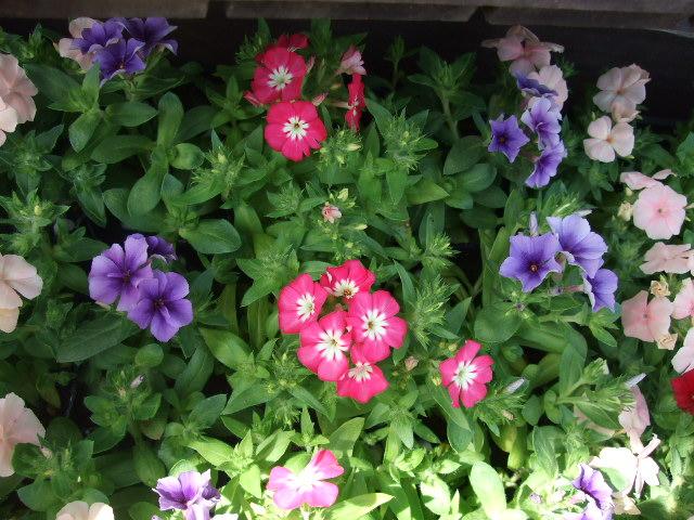 オークリーフ(春、ミモザの季節)_f0049672_14393144.jpg