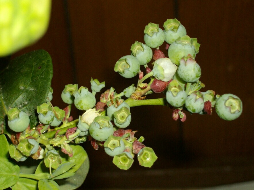 屋内促成栽培のブルーベリーの幼果_f0018078_17302571.jpg