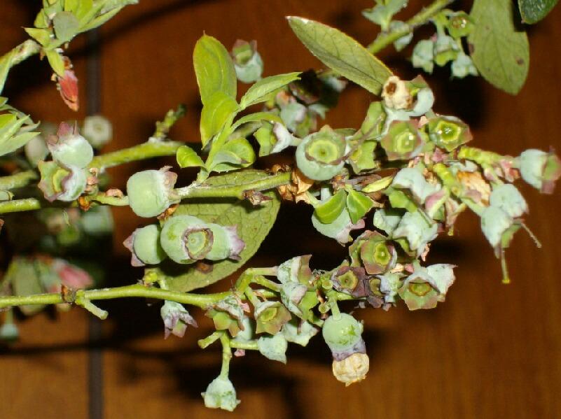 屋内促成栽培のブルーベリーの幼果_f0018078_17305372.jpg