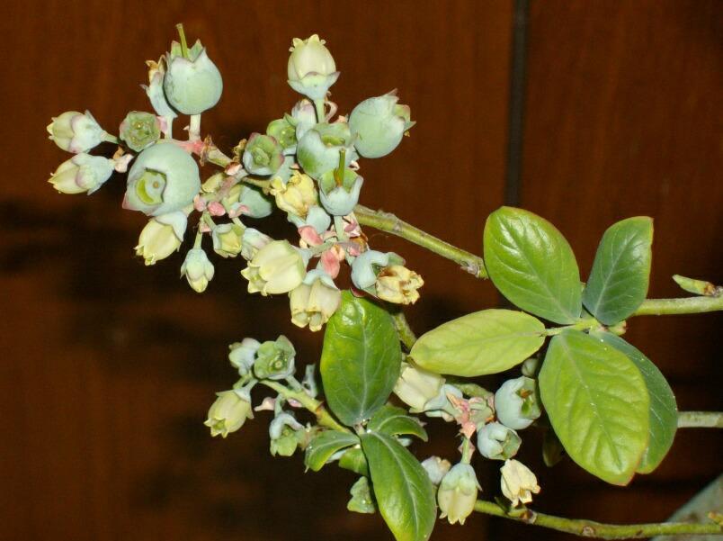 屋内促成栽培のブルーベリーの幼果_f0018078_1731846.jpg
