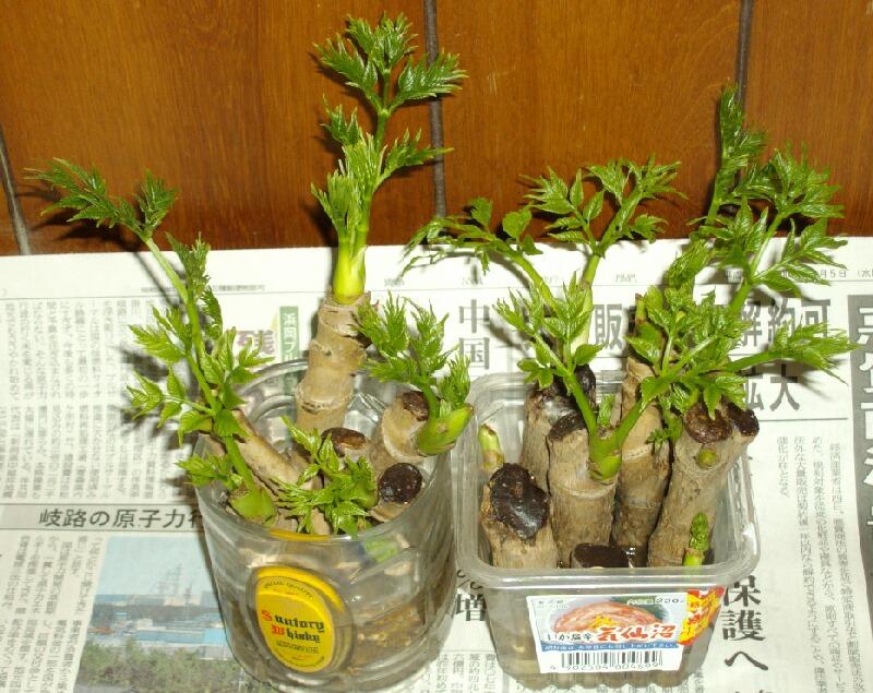 タラの芽の水耕栽培と海洋深層水_f0018078_17215770.jpg
