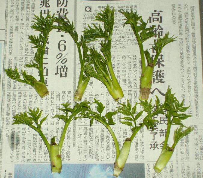 タラの芽の水耕栽培と海洋深層水_f0018078_17285077.jpg