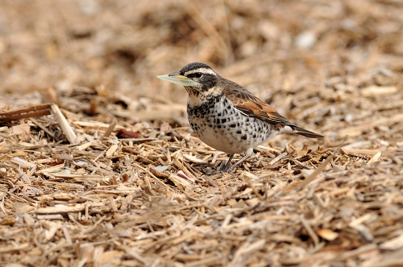 コガラと他の鳥さん_f0053272_1323382.jpg