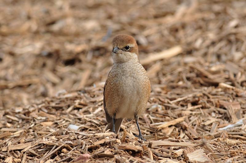 コガラと他の鳥さん_f0053272_1325188.jpg