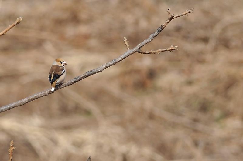 コガラと他の鳥さん_f0053272_13264624.jpg